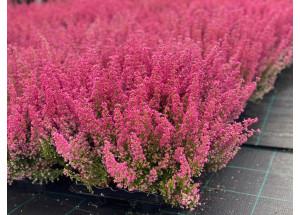 Caluna vulgaris Hot Pink
