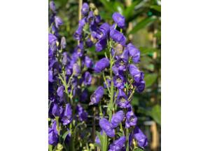 Campanula medium Blu