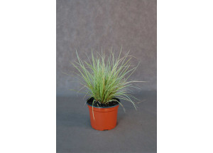 Carex Vanilla Ice