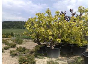 Catalpa bignoides Aurea