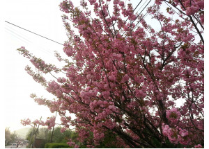 Prunus serrulata Kanzan