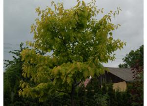 Quercus robur Concordia