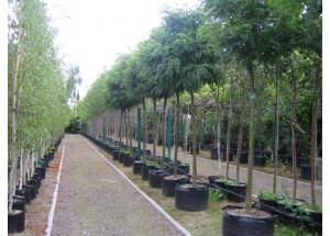 Robinia pseudoacacia Umbraculifera