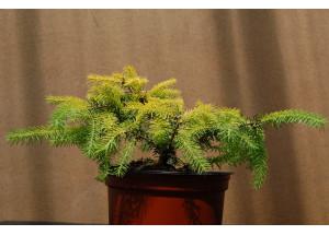 Picea abies Vermont Gold