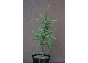Picea Mariana Aurea