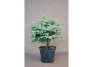 Picea Ne