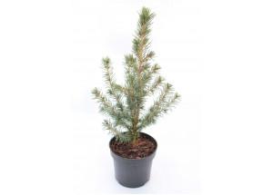 Picea glauca Biesenthaler Fruhling