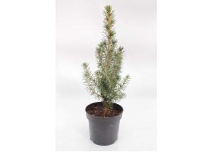 Picea glauca Conica Maigold
