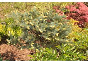 Picea Maigold