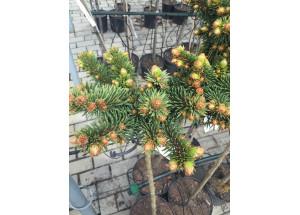Picea Mrs Cesarini