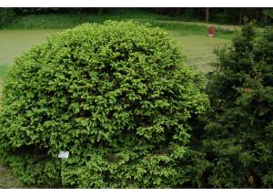 Picea abies Goblin