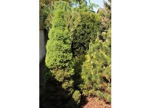 Picea abies Conica
