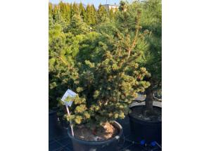 Picea abies Lucky Strike
