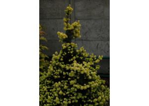 Picea glauca Maigold