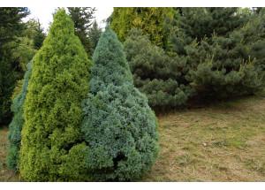 Picea glauca mix