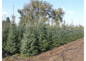 Picea omorika Paderovce