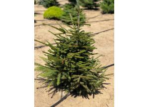 Picea orientalis Compacta
