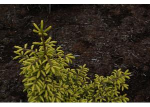 Picea orientalis Wittbold