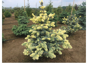 Picea pungens Bialobok