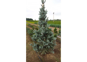 Picea pungens Foxtail