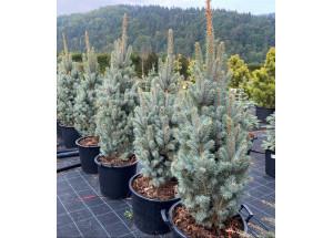 Picea pungens Iseli Fastigiata