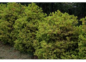 Picea sitchensis Anna