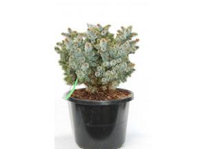 Picea sitchensis Silversberg