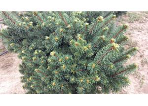 Picea sitchensis Tenas
