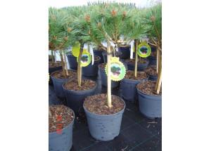 Pinus BB