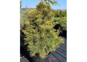 Pinus cembra Aurea