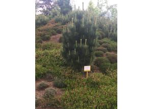 Pinus cembra Compacta Glauca