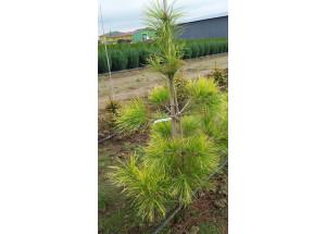 Pinus densiflora Aurea