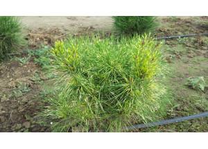 Pinus densiflora Cesarinis Variegata