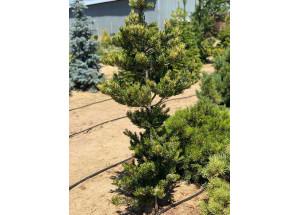 Pinus densiflora Oculus draconis