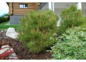 Pinus densiflora Umbraculifera