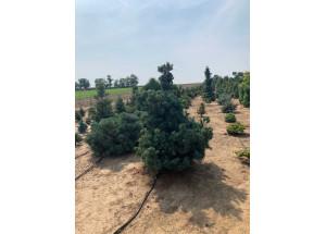 Pinus denziflora Glauca