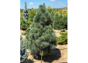 Pinus flexilis Vanderwolf Pyramidalis