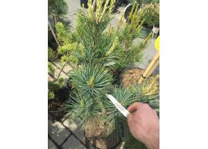 Pinus koreana Silveray