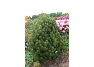 Pinus leucodermis Compact Gem