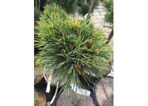 Pinus limba David