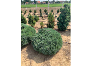 Pinus mugo Martham