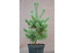 Pinus Ne