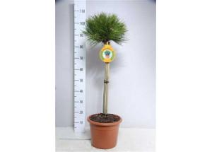 Pinus Marie-Brégeon