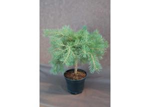 Pinus kmeň