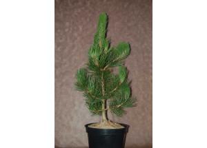 Pinus leucodermis Satelit