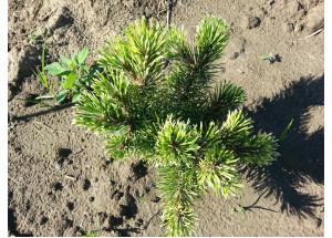 Pinus mugo Real Sparklers Variegated