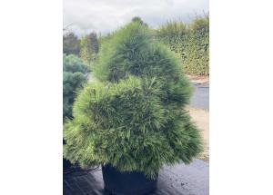 Pinus mugo Varela Compacta