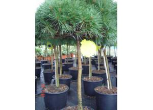 Pinus nigra BB