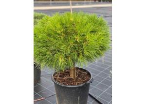 Pinus nigra Marie Bergeon