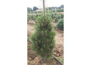 Pinus nigra Richard